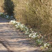 Hvide Krokus på havegang
