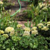 Havehortensia, Akelje og Tulipaner