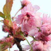 Japansk Kirsebær