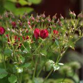 Opstammet rose med knopper