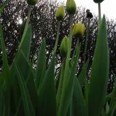 Gul Tulipan
