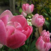 Tulipan i krukke