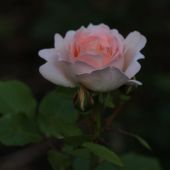 Rose; Geoff Hamilton