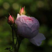 Rose; Sceptred Isle