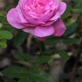 Rose; The Mayflower