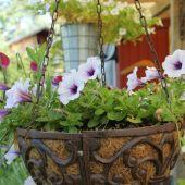 Petunia ampel
