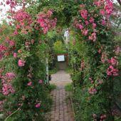 Rose; Debutante