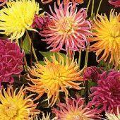 Dahlia Variabilis Cactus Hybrids mixed