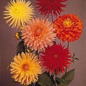 Dahlia Variabilis Giant Hybrids Mixed