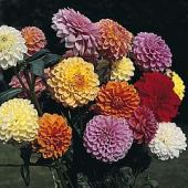 Dahlia Variabilis Showpiece Mixed Hybrids