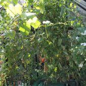 Tomater i kapilærkasser