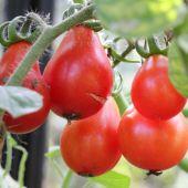 Tomat; Rød Figen