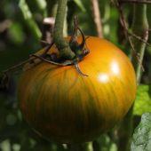 Tomat; Green Zebra