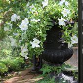 Jernkrukke med Petunia; Grande White