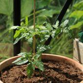 Tomat (stiklingeformeret)