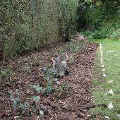 Hyacintløg i rosenbed