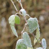 Rose med frost