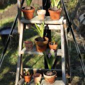 Hyacinter på planterappen
