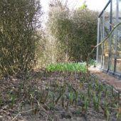 Masser af tulipaner