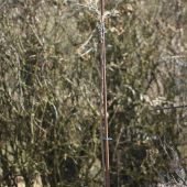 Nordens oliven i krukke