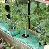 Tomat i plantesæk