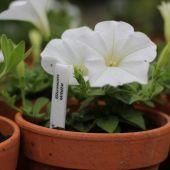 Petunia; Blossom White