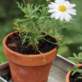 Marguerit; Polly