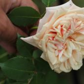 Rose; Mme Bérard