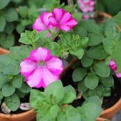 Petunia; Raspberry