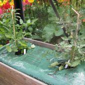 Tomater i plantesæk