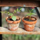 Klokkeranker på plantetrappe