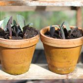 Prydløg på plantetrappe