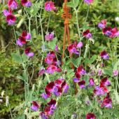 Lathyrus (rteblomst)