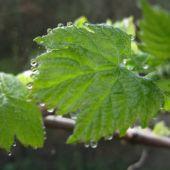 Vinblad med dråber