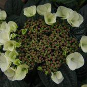 Havehortensia