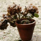 Hortensia med sne