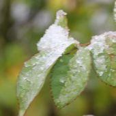 Rosenblad med sne