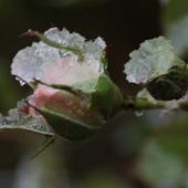 Rosenknop med sne