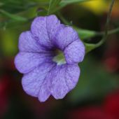 Petunia; Superbell Royal Blue