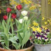 Crispa Tulipaner og Hornvioler