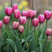 Crispa Tulipaner
