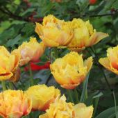 Crispa tulipan - Crispion Sweet