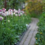 Rosengang med Shirley tulipaner