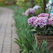Tulipaner og Hortensia
