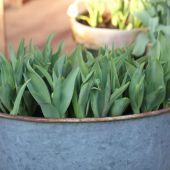 Tulipaner i zinkbalje