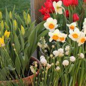 Tulipaner og pinseliljer i krukker
