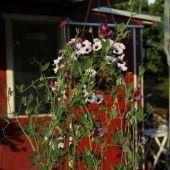 Ærteblomst og Petunia