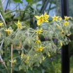 Tomat blomster