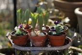 Små Tulipaner og Hornvioler