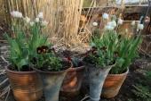 Stedmoder og Tulipaner